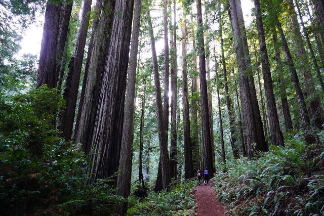 Trillium_Falls_032_11212020 - Hiking among a dense grove of tall redwood trees en route to Trillium Falls