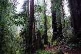Trillium_Falls_078_11212020 - The nice thing about going back the way I came was that I got to experience the impressive coastal redwoods of the Trillium Falls Trail once again