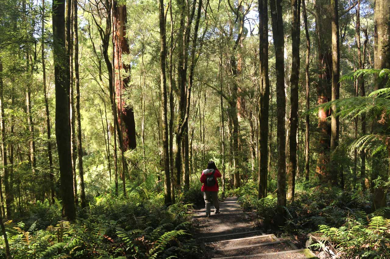 The track was now flanked by tall trees and lots of ferns on the forest floor