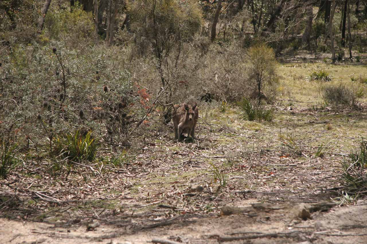 A kangaroo staring back at us as we were leaving Wadbilliga NP