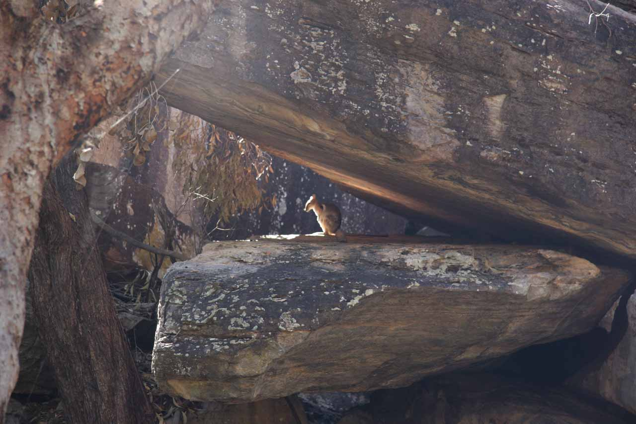 A rock wallabie chilling out in a sheltered little nook