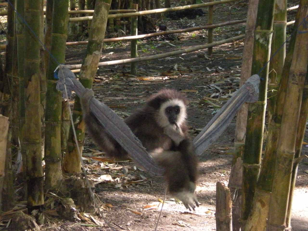 While at the geothermal springs stop, we saw this gibbon swinging by itself, but unfortunately, we sensed that it was abducted by a local who then trained it to perform for tips