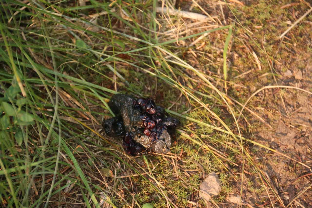 This scat had berries in it, which made me believe it could have belonged to a bear.  But its small size made me realize that it might have belonged to a cub
