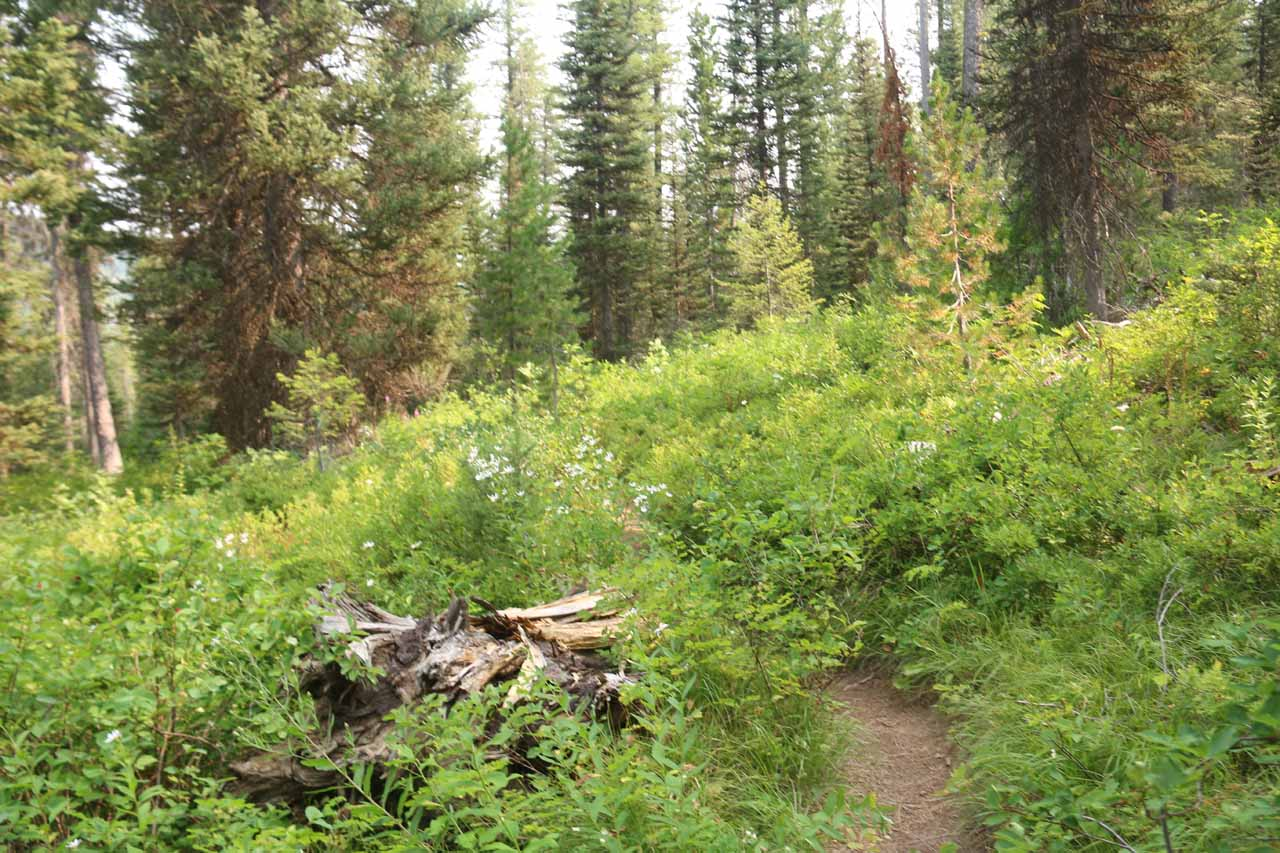 Beyond Proposition Creek, the Mountain Ash Creek Trail descended through an extensive patch of low-lying shrubs full of wildflowers and berries (as well as mosquitos)