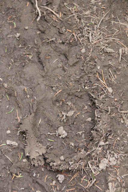 Union_Falls_100_08122017 - Noticing bear tracks on the Union Falls Trail