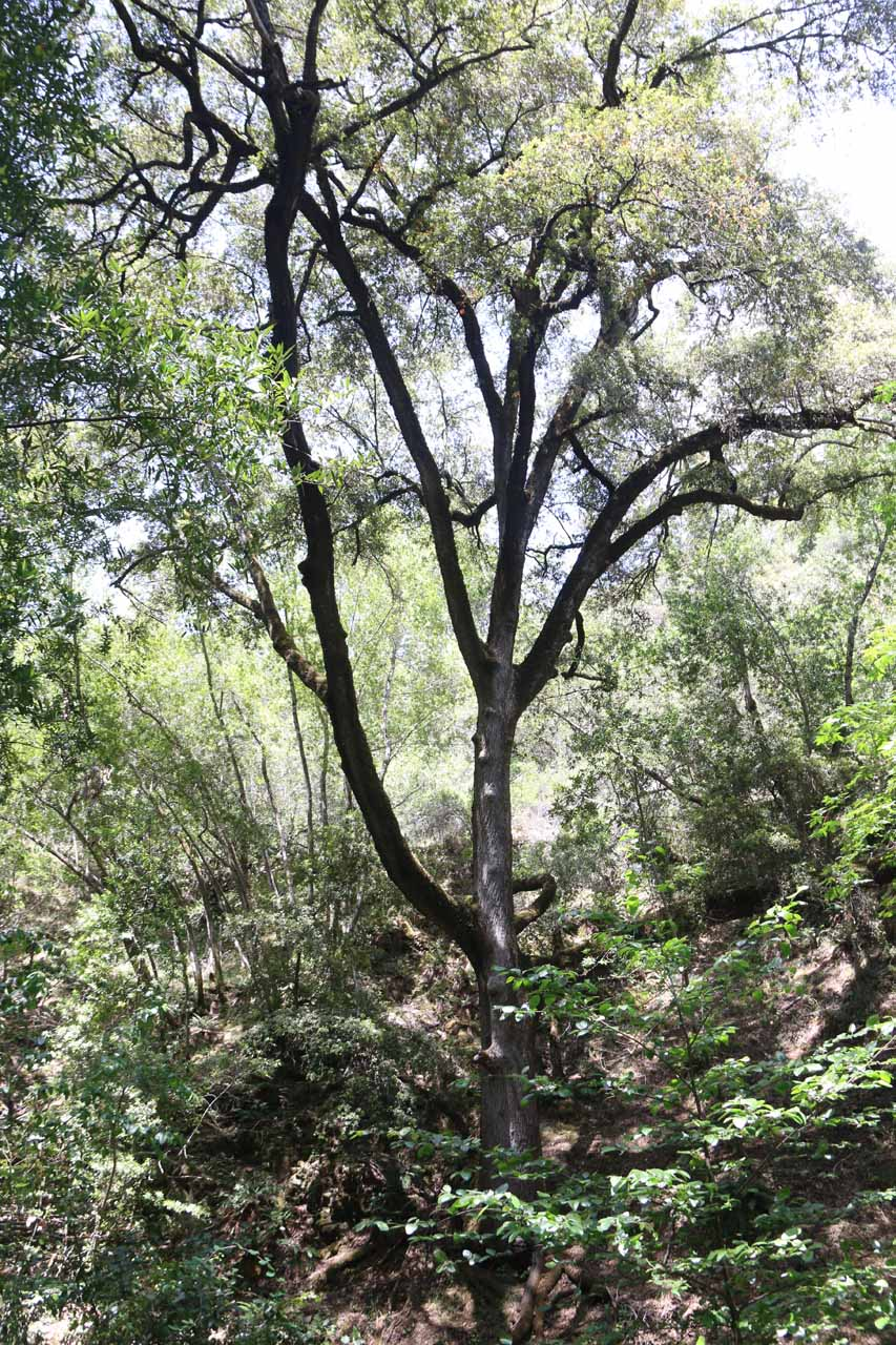 This was the attractive live oak tree that was near Granuja Falls