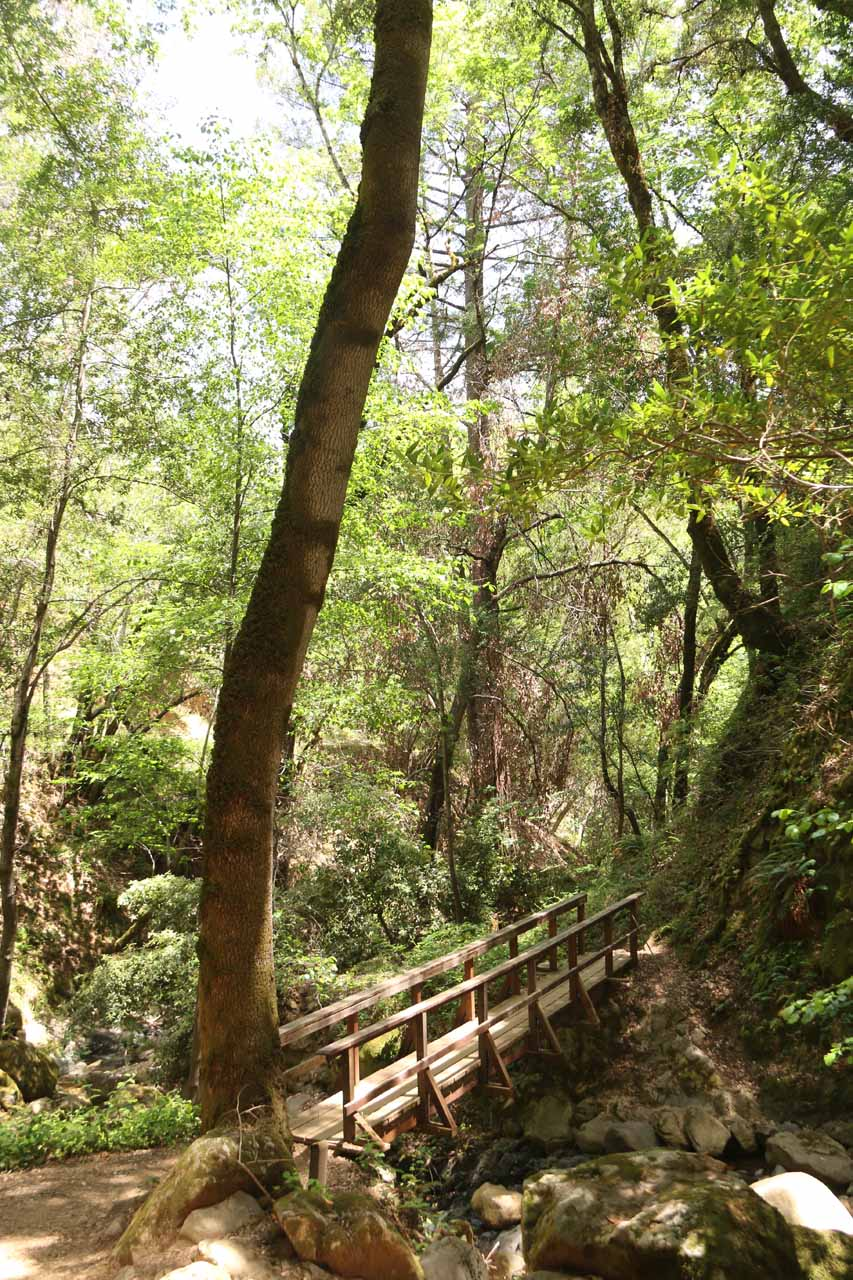 An attractive footbridge on the lower trail flanked by an impressively tall tree