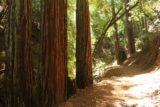 Uvas_Canyon_227_05192016 - The final stretch to Triple Falls seemed to have featured more coastal redwood trees than the Waterfall Loop further down the Uvas Canyon