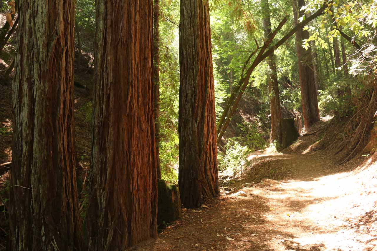 Redwoods along the trail for Triple Falls in Uvas Canyon County Park