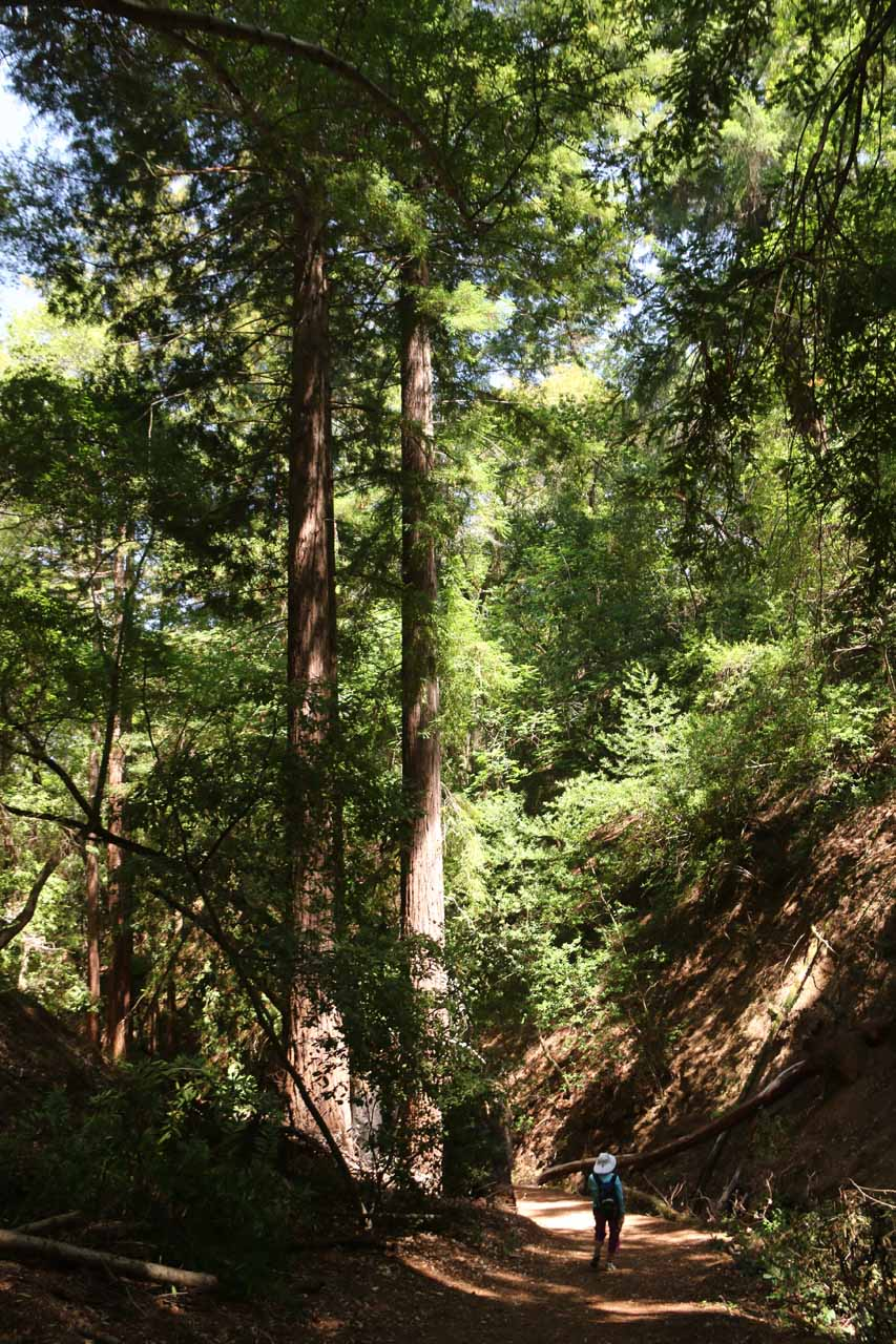 Now Mom and I were headed back while getting to walk besides these towering coastal redwoods once again