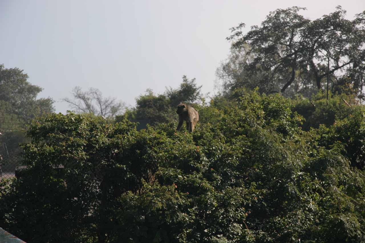 Baboon near the Livingstone Bridge