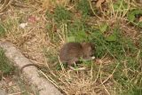 Vienna_316_07082018 - A rat that Julie spotted scurrying into the grass as we were looking for the Belvedere Museum