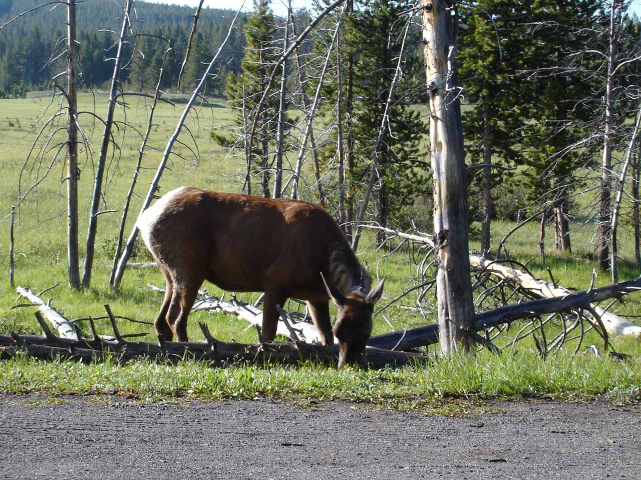 Towards the end of the Virginia Cascade loop road, we saw this elk grazing right next to the one-way road