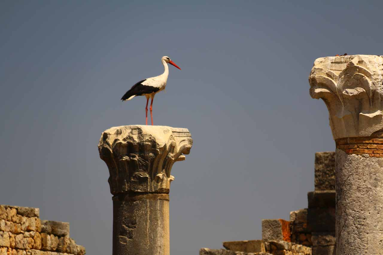 Looking up at some birds who have built nests atop pillars in Volubilis