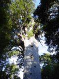 Waipoua_Forest_009_11072004 - Looking up towards the Tane Mahuta Kauri Tree