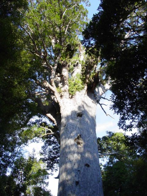 Waipoua_Forest_009_11072004 - Further to the west of Kerikeri and Whangarei was the Waipoua Forest, where we got to look up at Tane Mahuta, said to be the largest living Kauri Tree