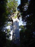 Waipoua_Forest_011_11072004 - Tane Mahuta