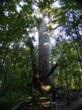 Waipoua_Forest_020_11072004 - Contextual view of Tane Mahuta