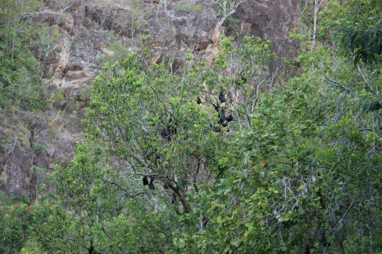 Bats hanging from a tree near Wangi Falls