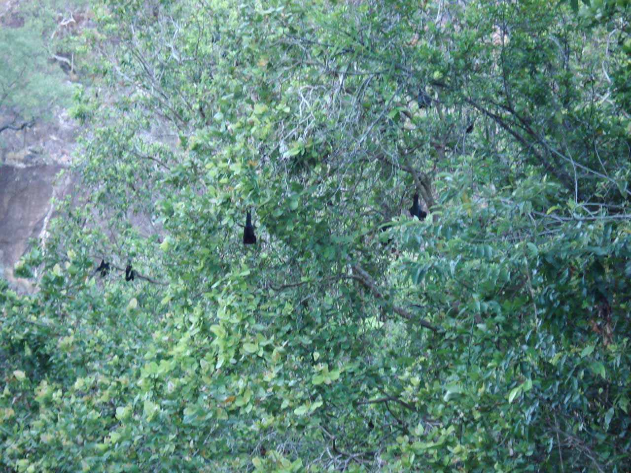 Closer look at the bats hanging from trees by Wangi Falls