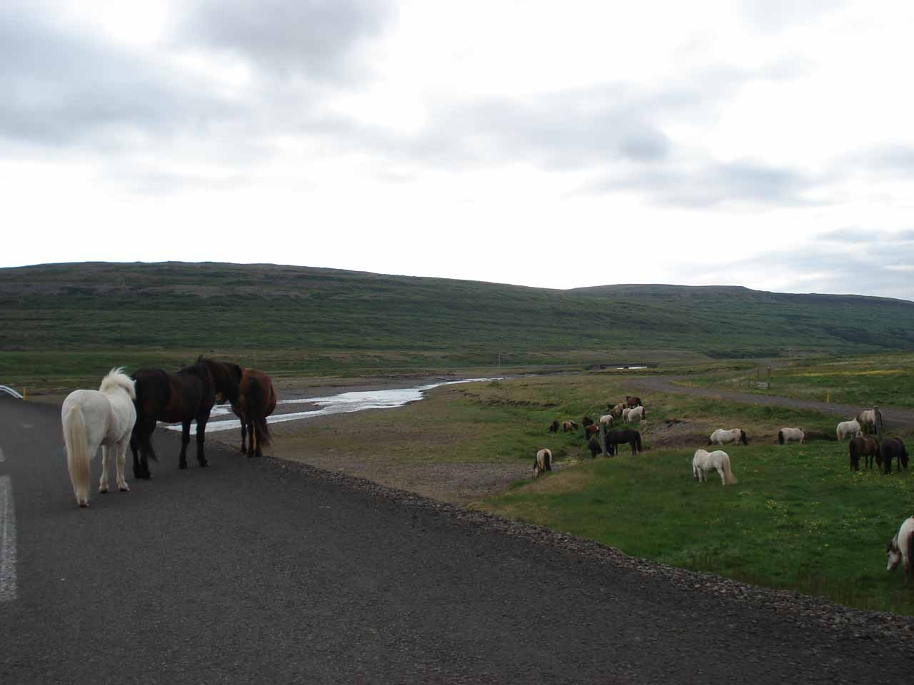 A bunch of Icelandic horses grazing freely in the Westfjords