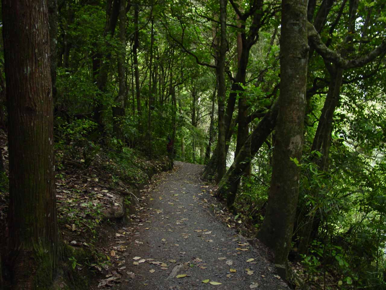 Continuing the descent towards Whangarei Falls as we were flanked by attractive trees