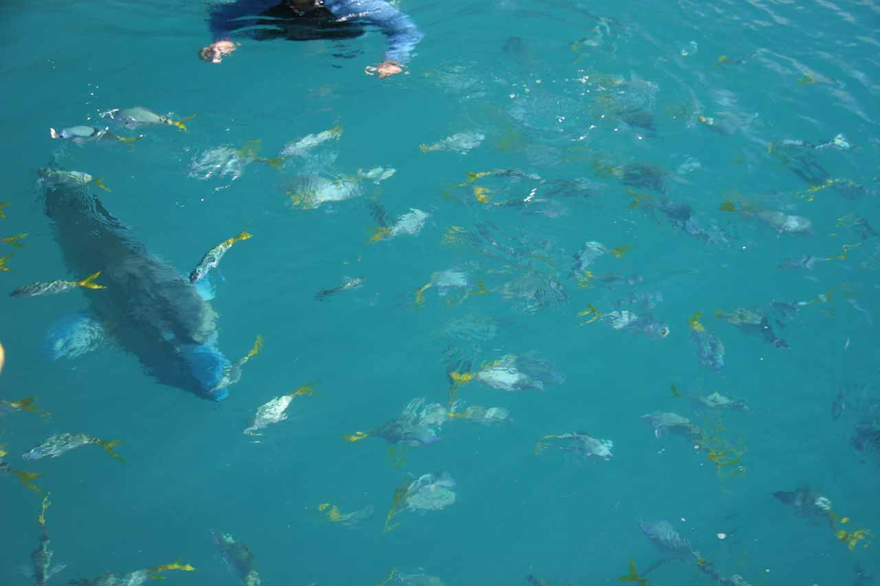 More big and little fish at Mantaray Bay