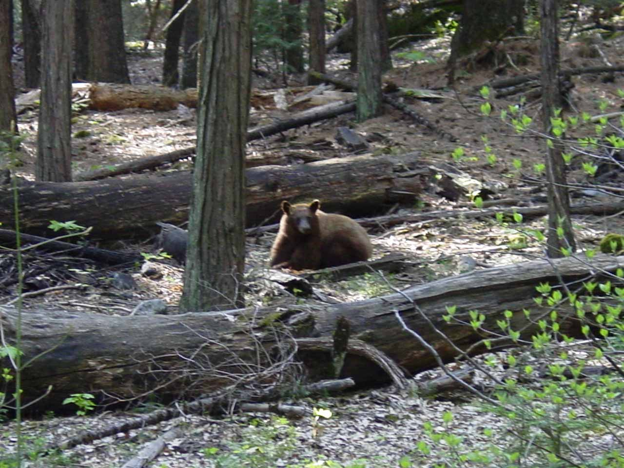 A bear in Yosemite near Fern Spring in April 2004