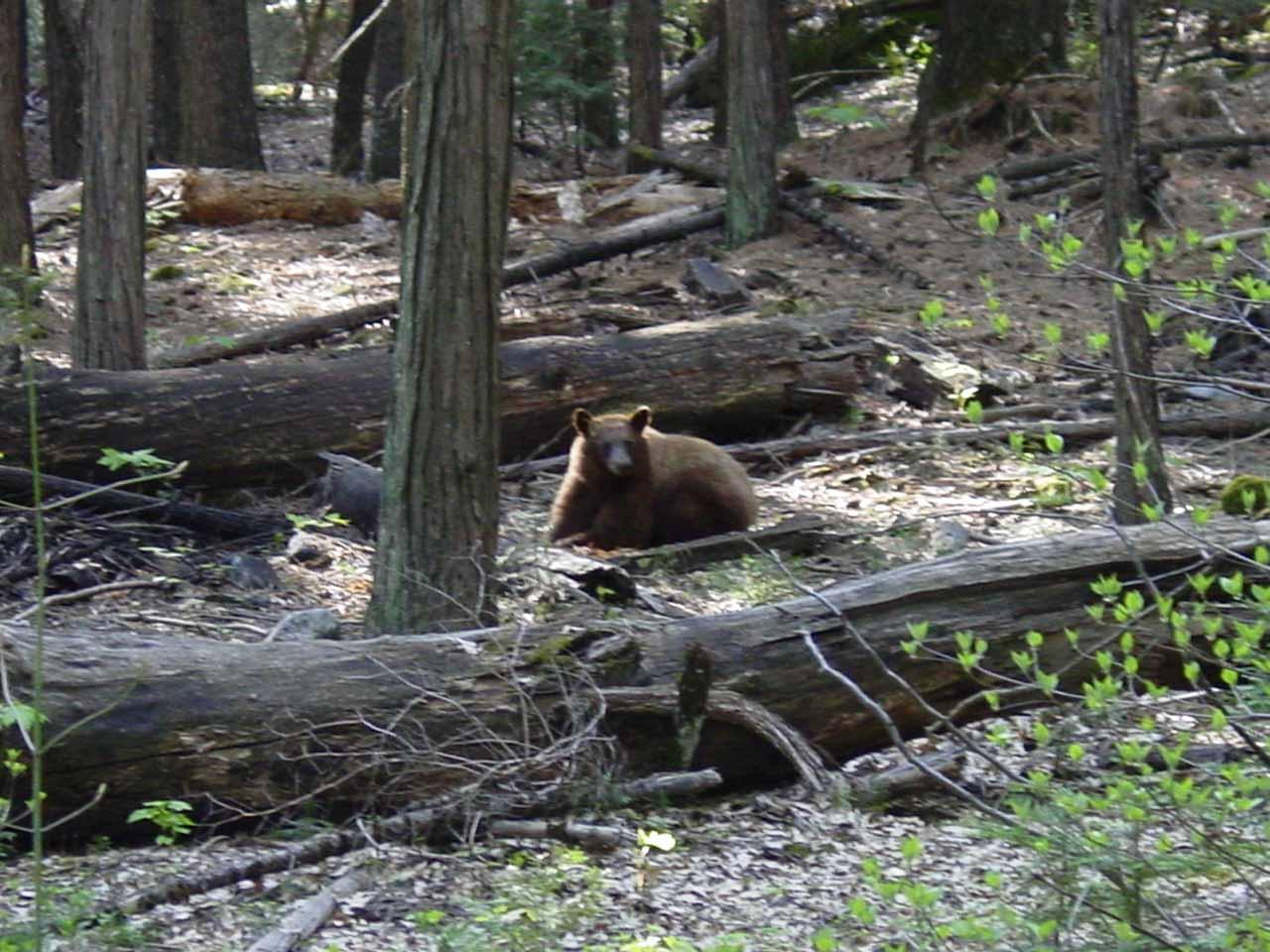 A bear in Yosemite near Fern Spring in April 2004