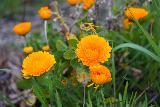 Willamette_Falls_Promenade_083_04072021 - Some attractive flowers blooming alongside the McLoughlin Promenade