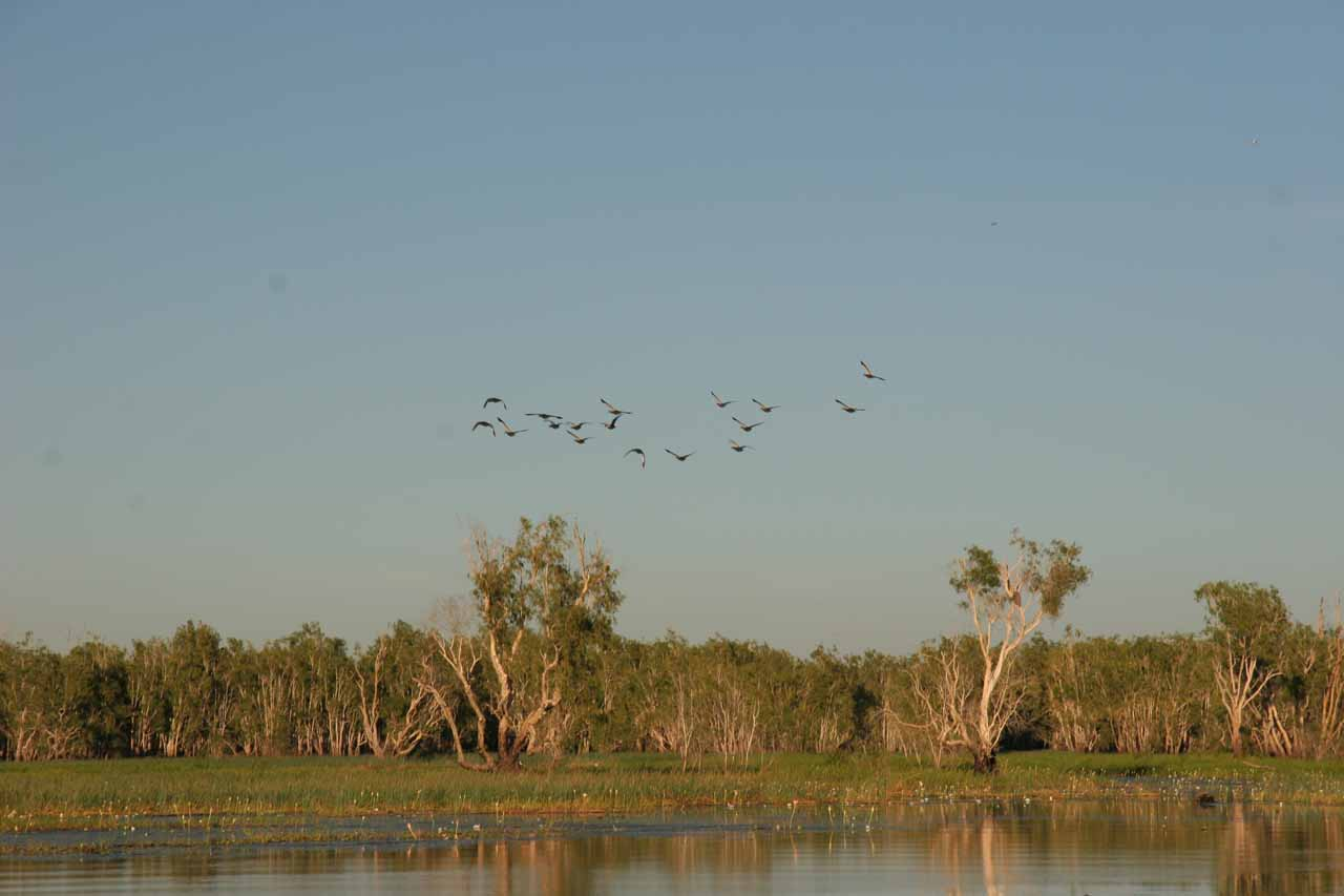 Flock of birds flying safely above the billabong seen from the Yellow Water Cruise