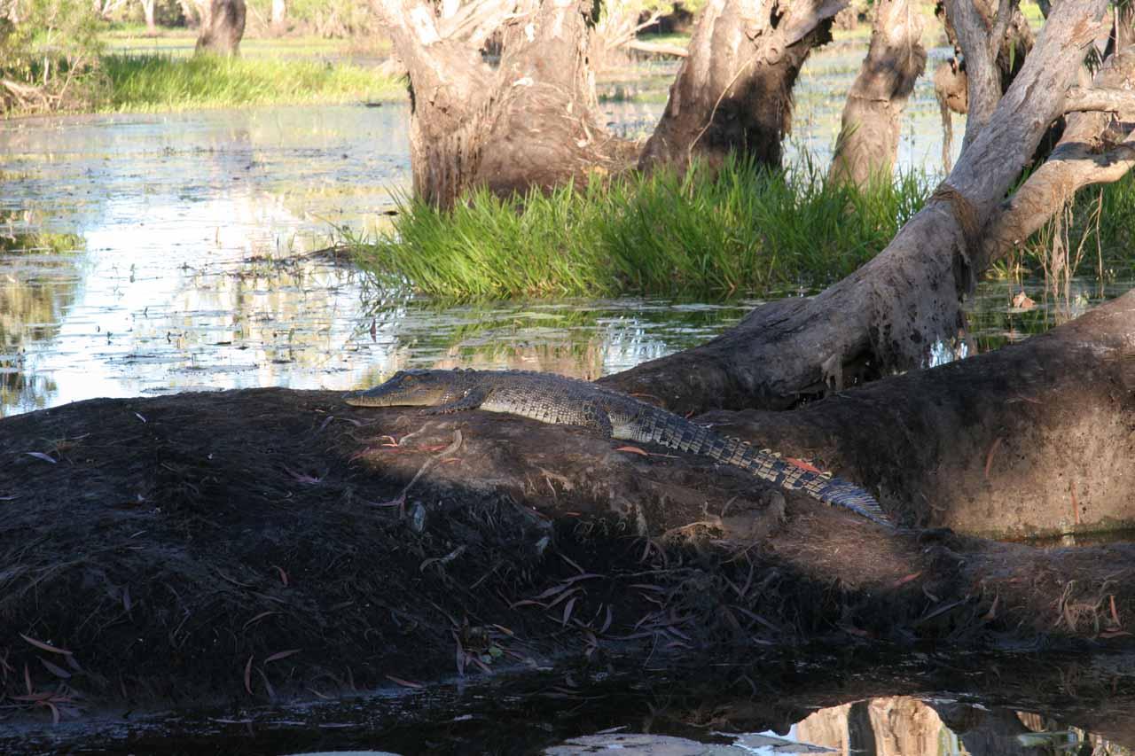 A croc resting on a log
