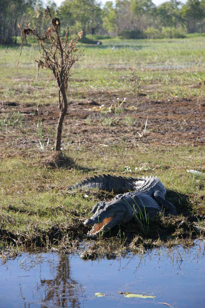 A croc resting in the open with its mouth open