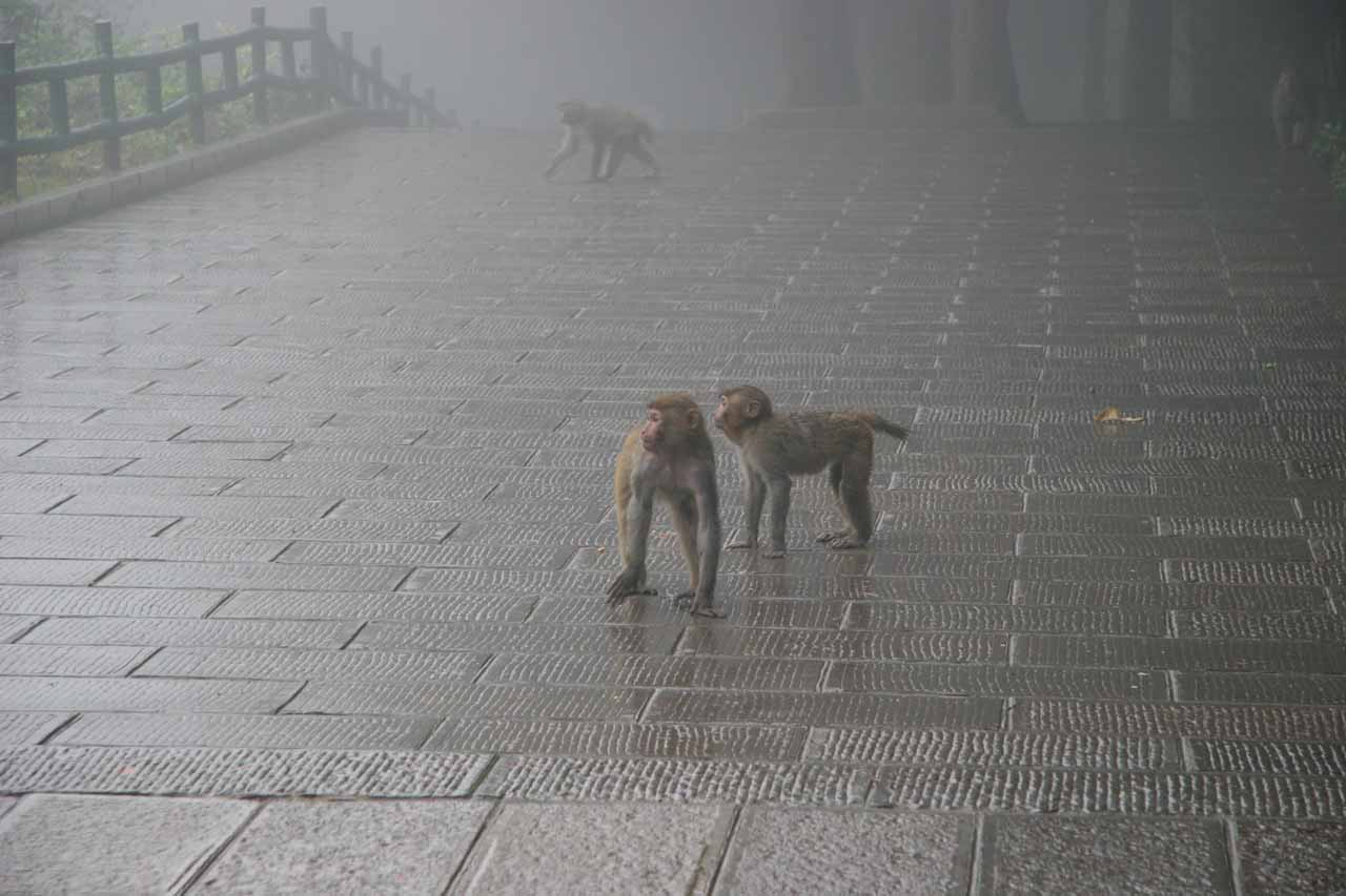 Monkeys at the Huangshizhai